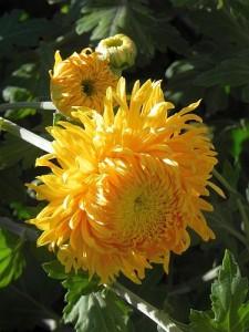 Chrysantht 004