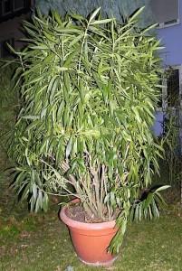 Oleander-klein 001