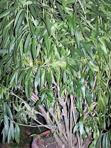 Oleander-klein 002