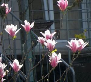 Magnolia-klein 001