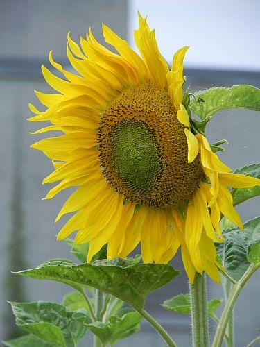 Sonnenblume 010