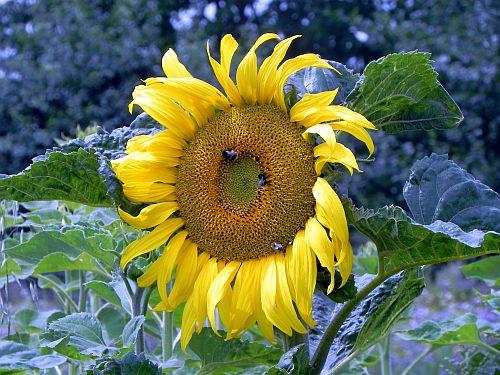 Sonnenblume 012