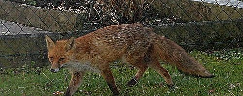 Ein Fuchs Im Garten Wahnsinn Im Alltag Reisen Katzen Bücher