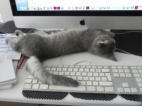 Katze liegt auf Tastatur
